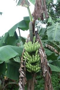 Banana growing on Pago Pago